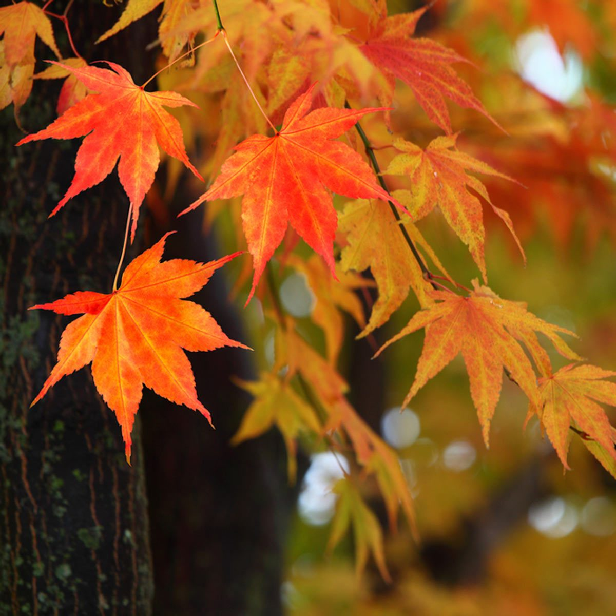 Japanese Maple Tree Fall Foliage
