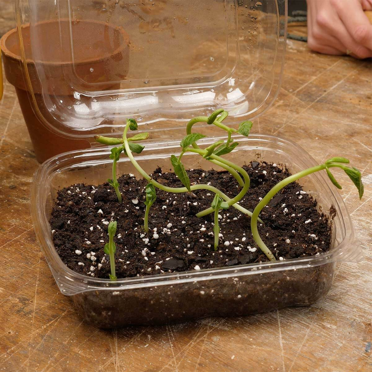 seedlings growing in plastic clamshell container from salad bar HH