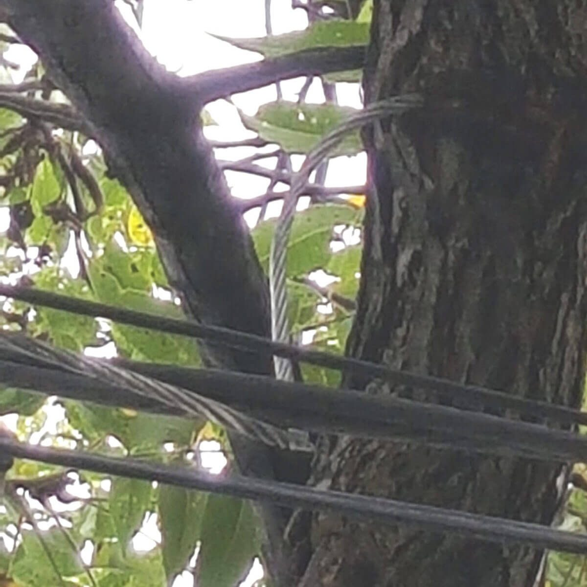 Tree eats cable