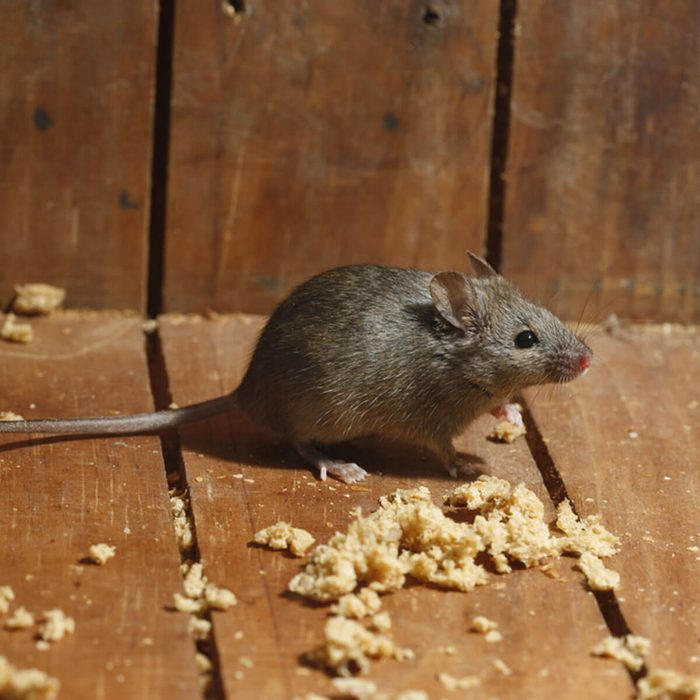 house-mouse-shutterstock_156013364