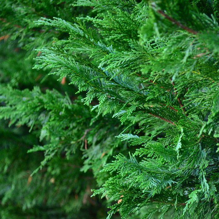 Leyland cypress (Cupressus leylandii)