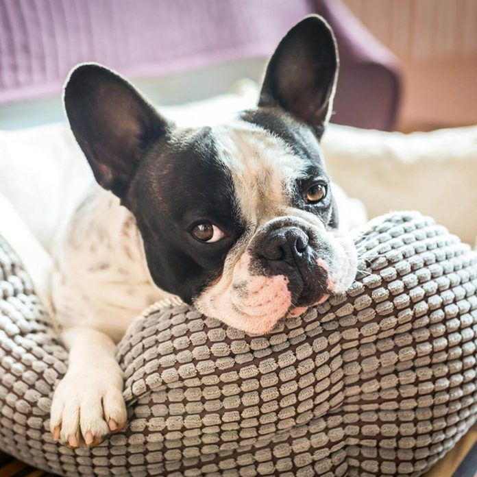 shutterstock_267382895 french bulldog in pet bed