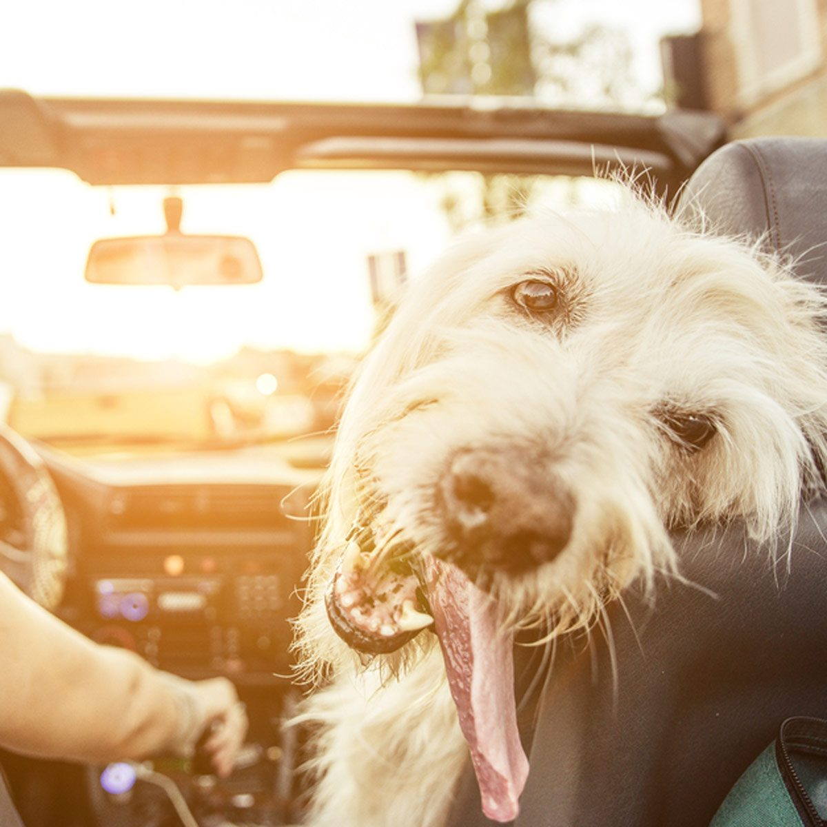 shutterstock_331376426 dog pet in car ride convertible