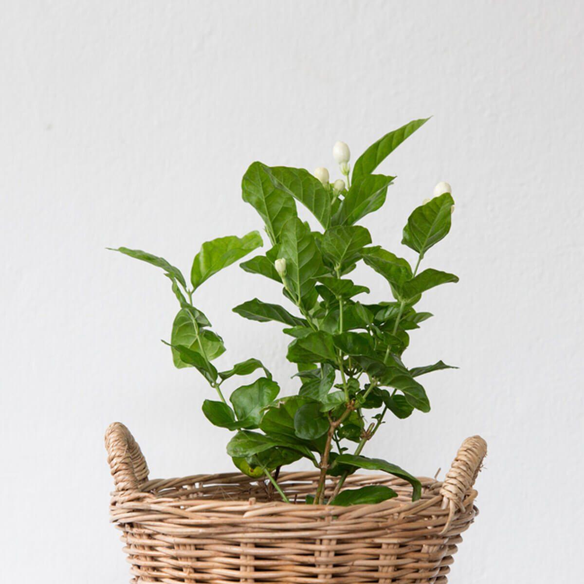 jasmine house plants _692337718
