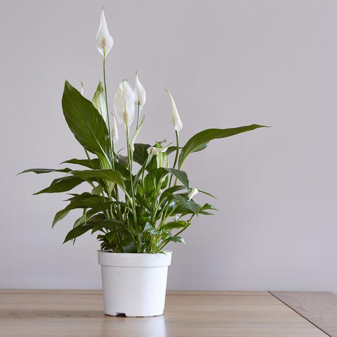 peacelily_604620110 house plant