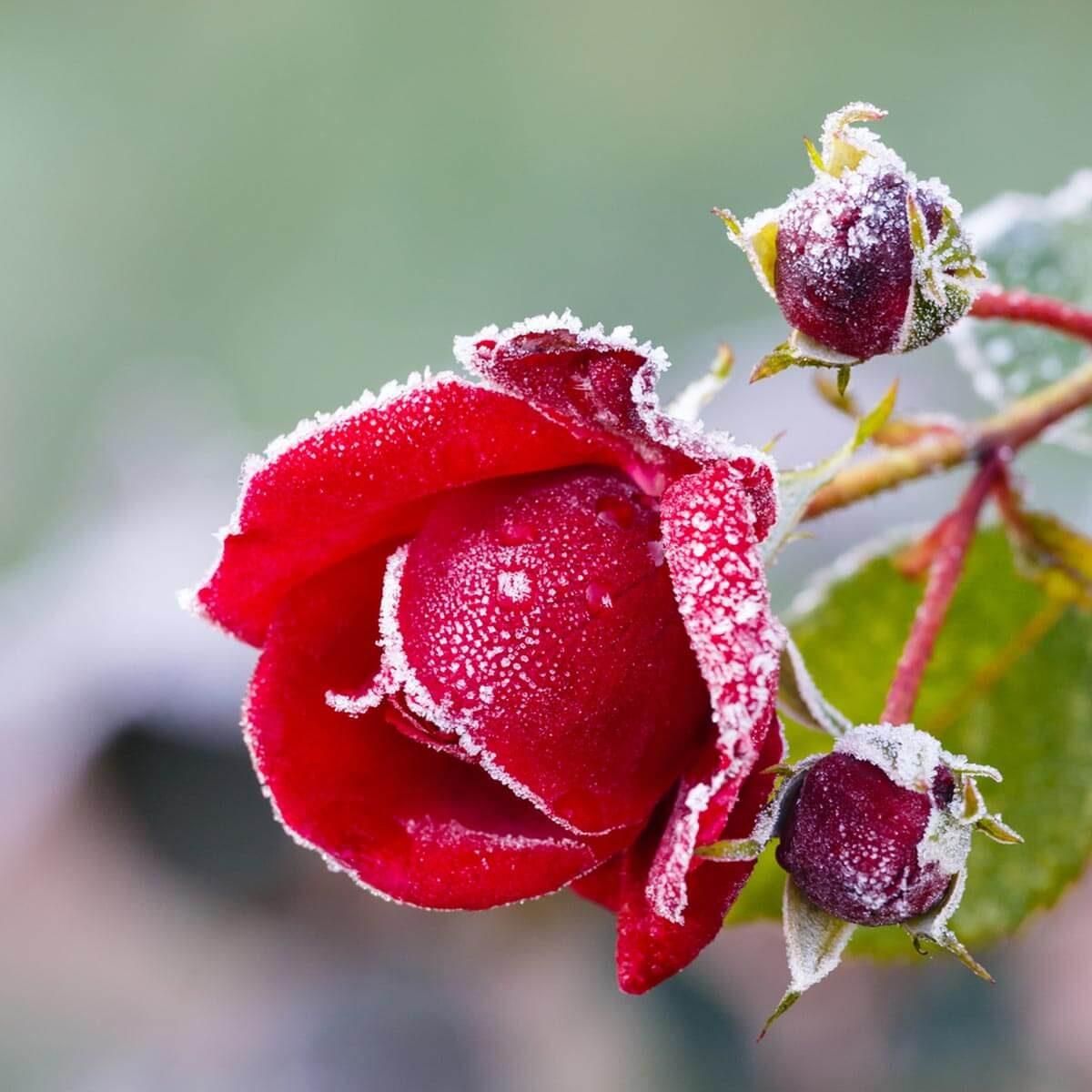 shutterstock_116869438 rose frost