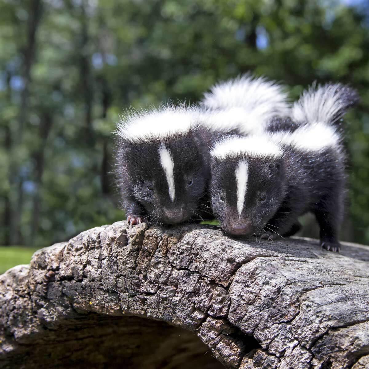 Neutralize Skunk Odor