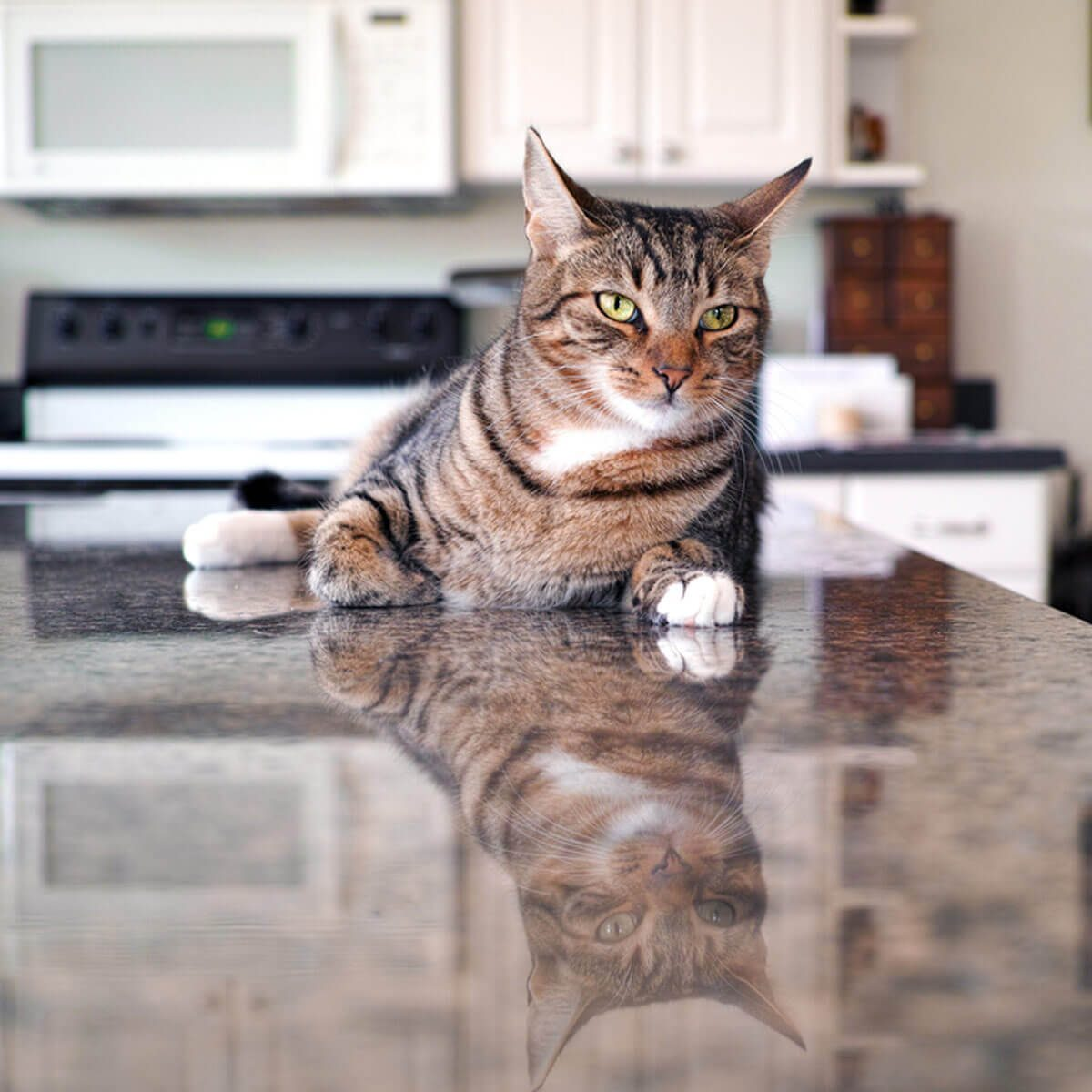cat on kitchen countertop