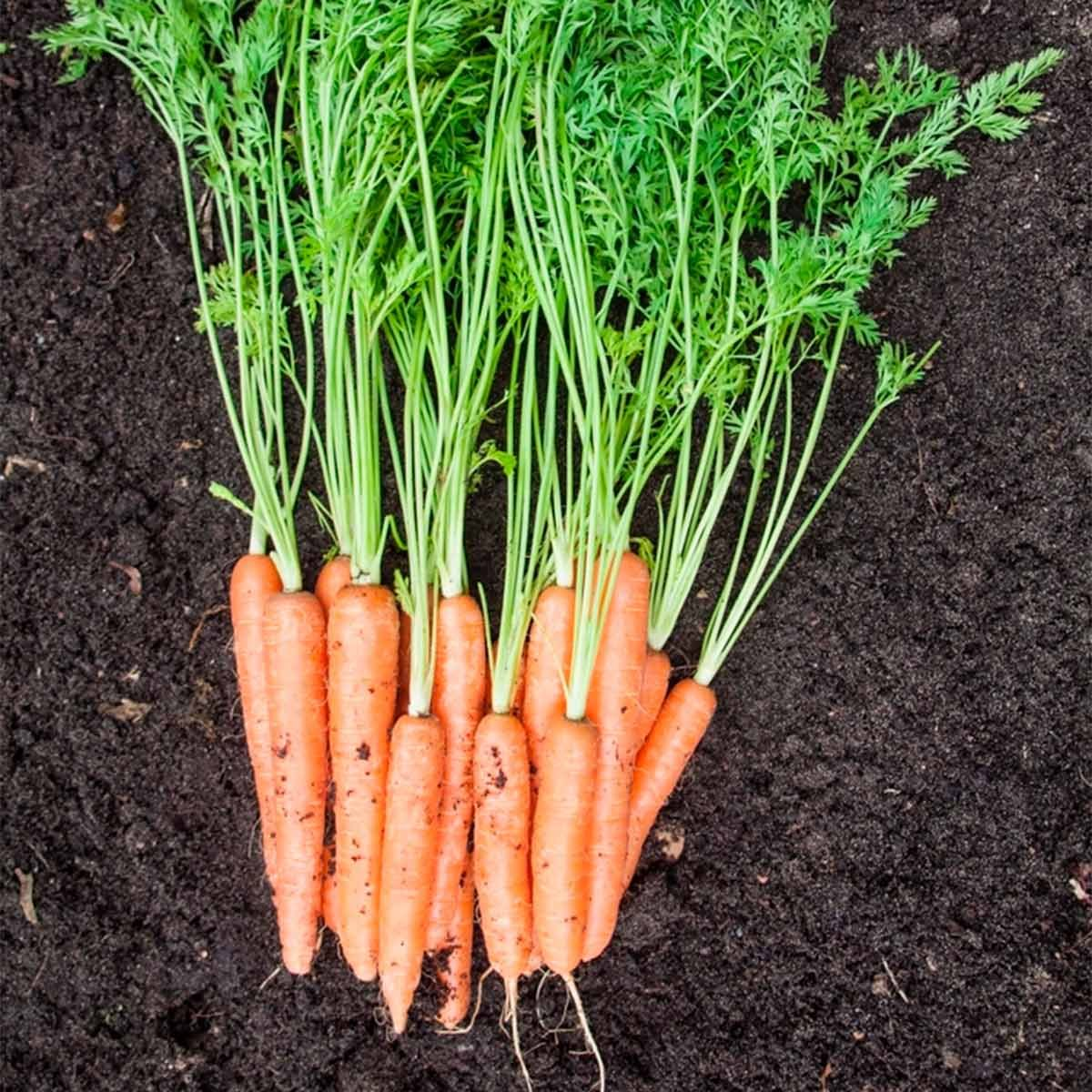 carrots from garden best soil for vegetable garden