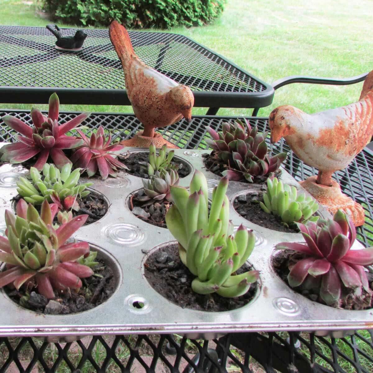 cupcake tin succulent planter