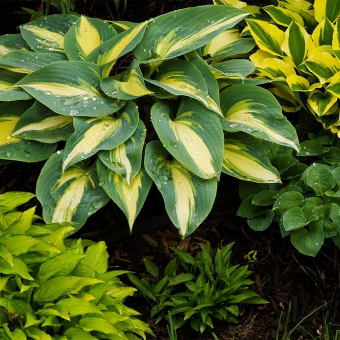 Hosta shrub