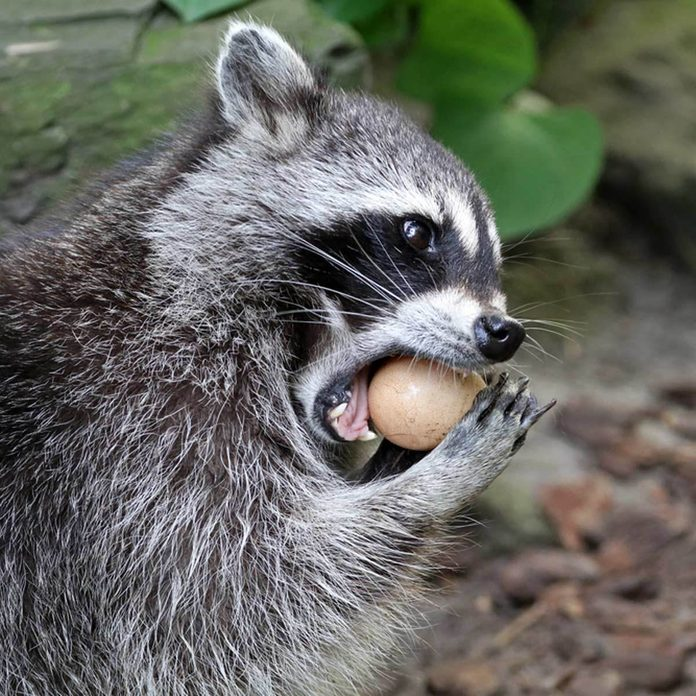 raccoon pest