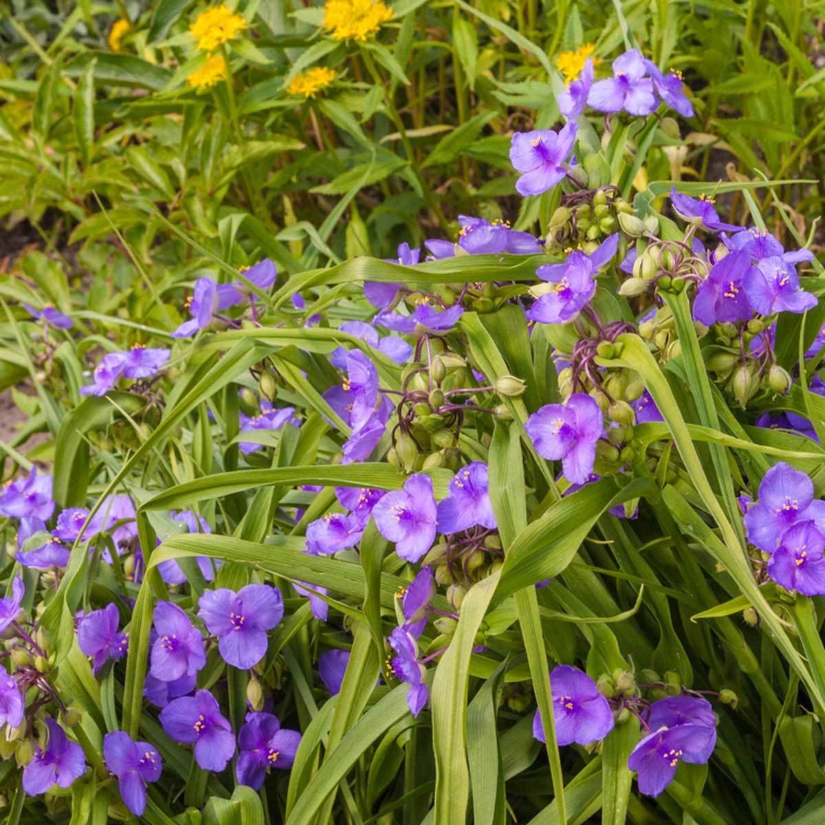 Spiderwort Flower Plant