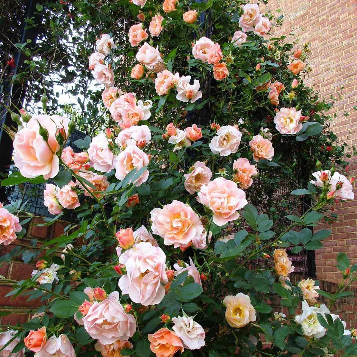 First Editions Above and Beyond Rose