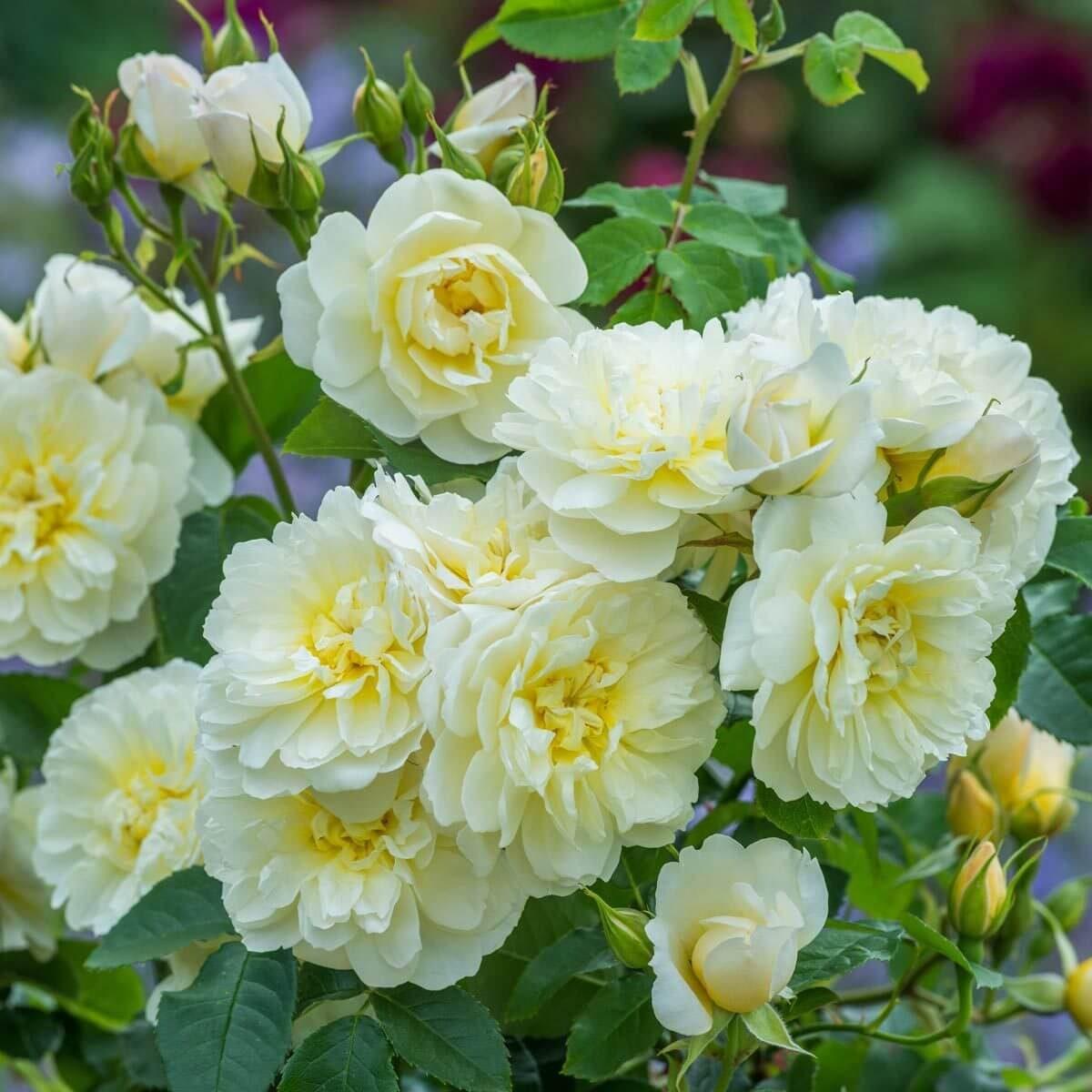 David Austin Rose Imogen flower