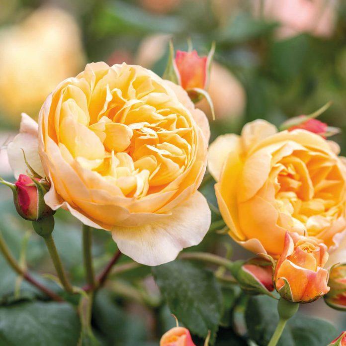 David Austin Rose Roald Dahl flower