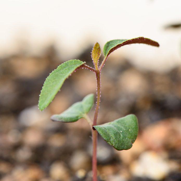 Lemon Eucalyptus Plant Bug Repellent