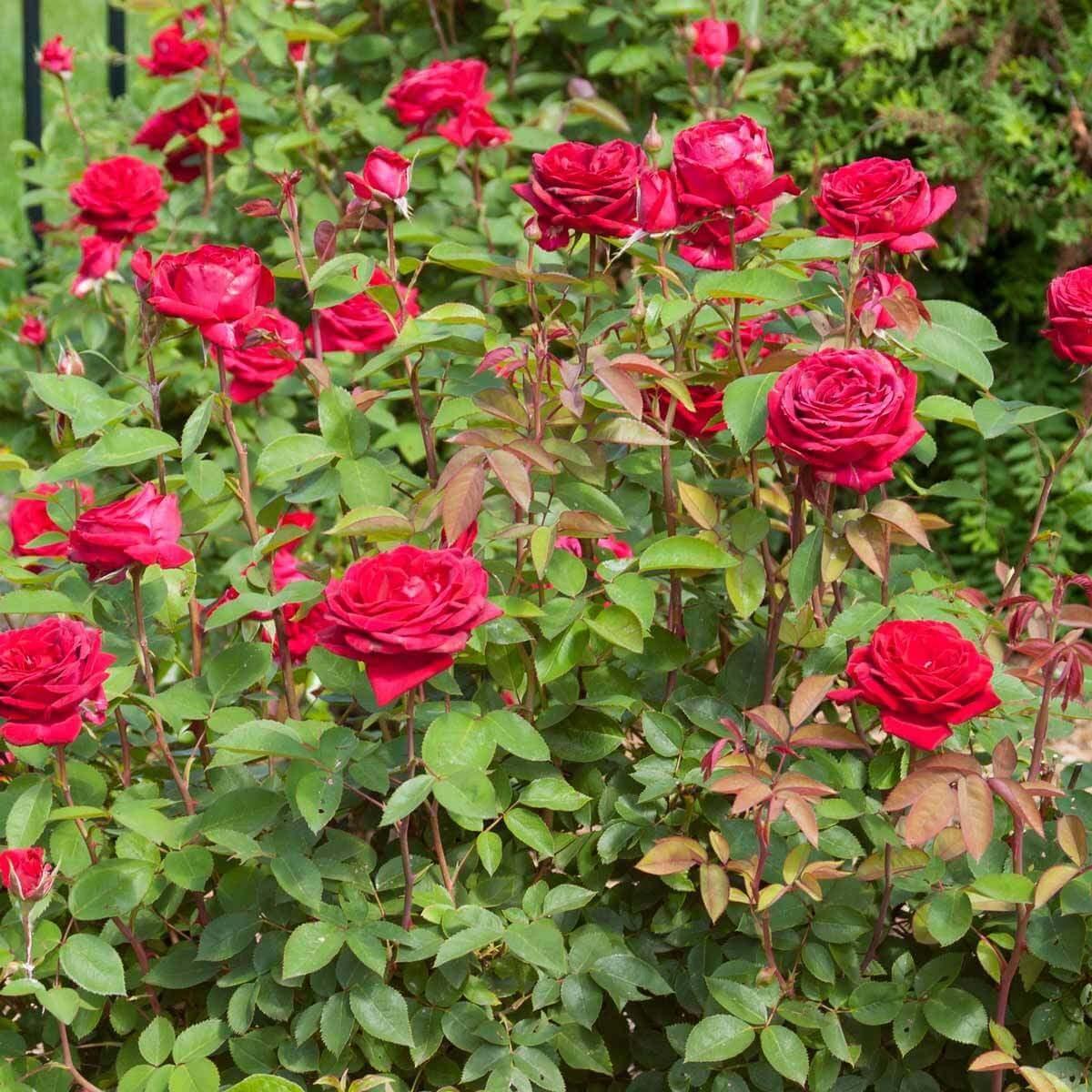 Easy Elegance Kashmir Dark Red Rose