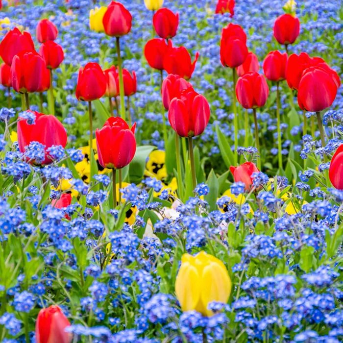 Tulips, forget-me-nots and pansies garden flower beds