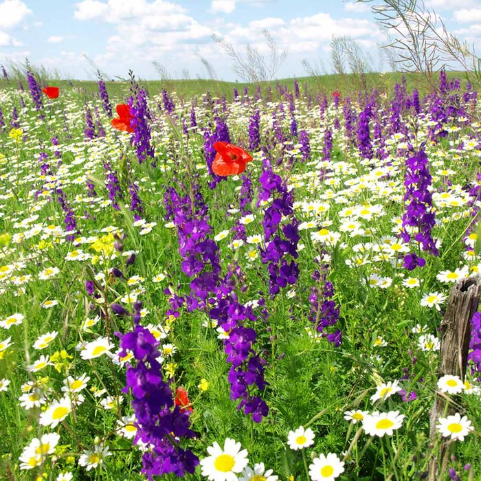 purple larkspur red poppies garden flower beds