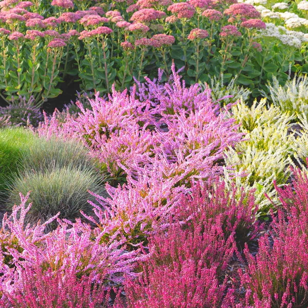 pink white red heather flowers