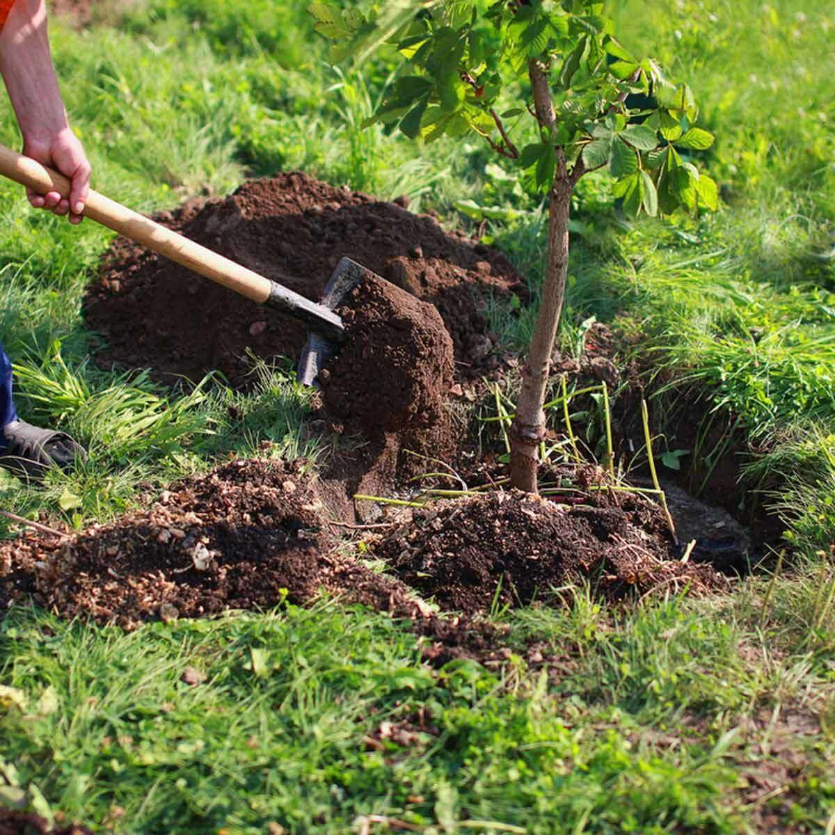 Amending tree Soil