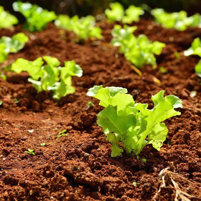 Small lettuce plants in garden bed
