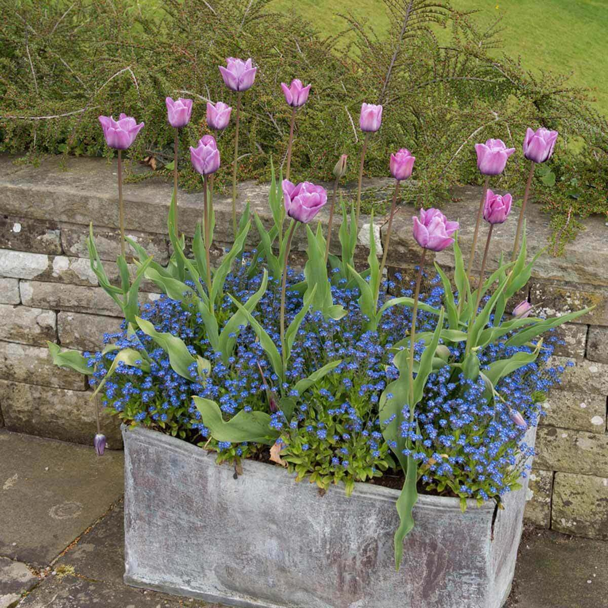 pink tulips and blue forget-me-nots
