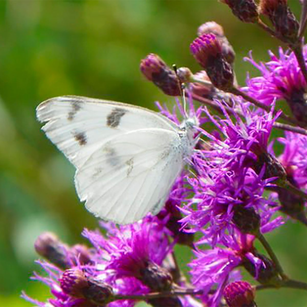 butterfly on ironweed