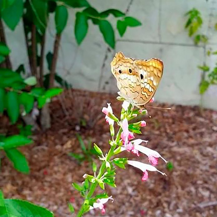 butterfly on salvia