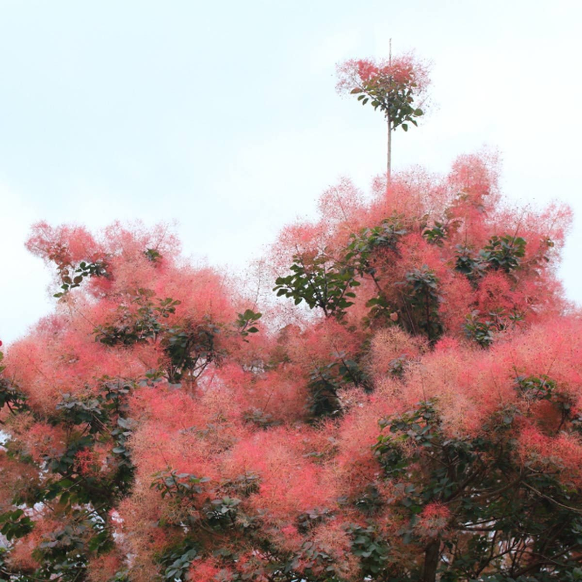 flowering shrubs Smokelike blooms on smokebush shrub