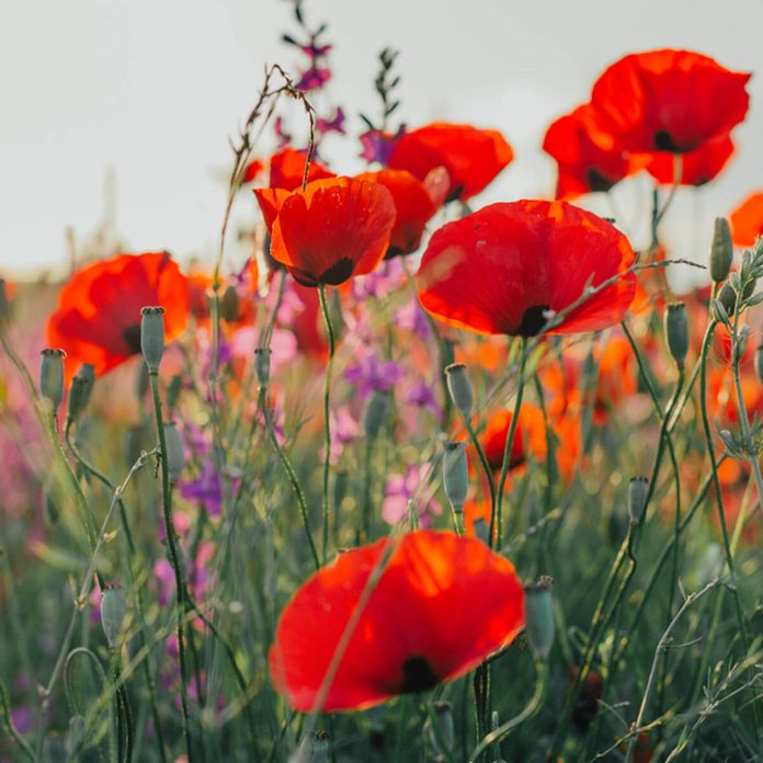 poppies wildflowers