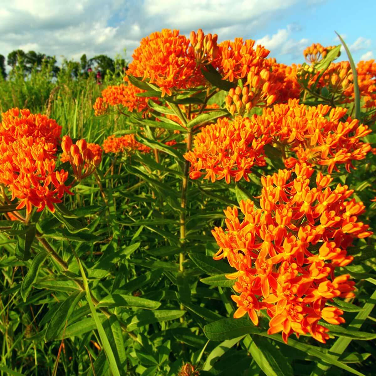 Butterflyweed wildflower