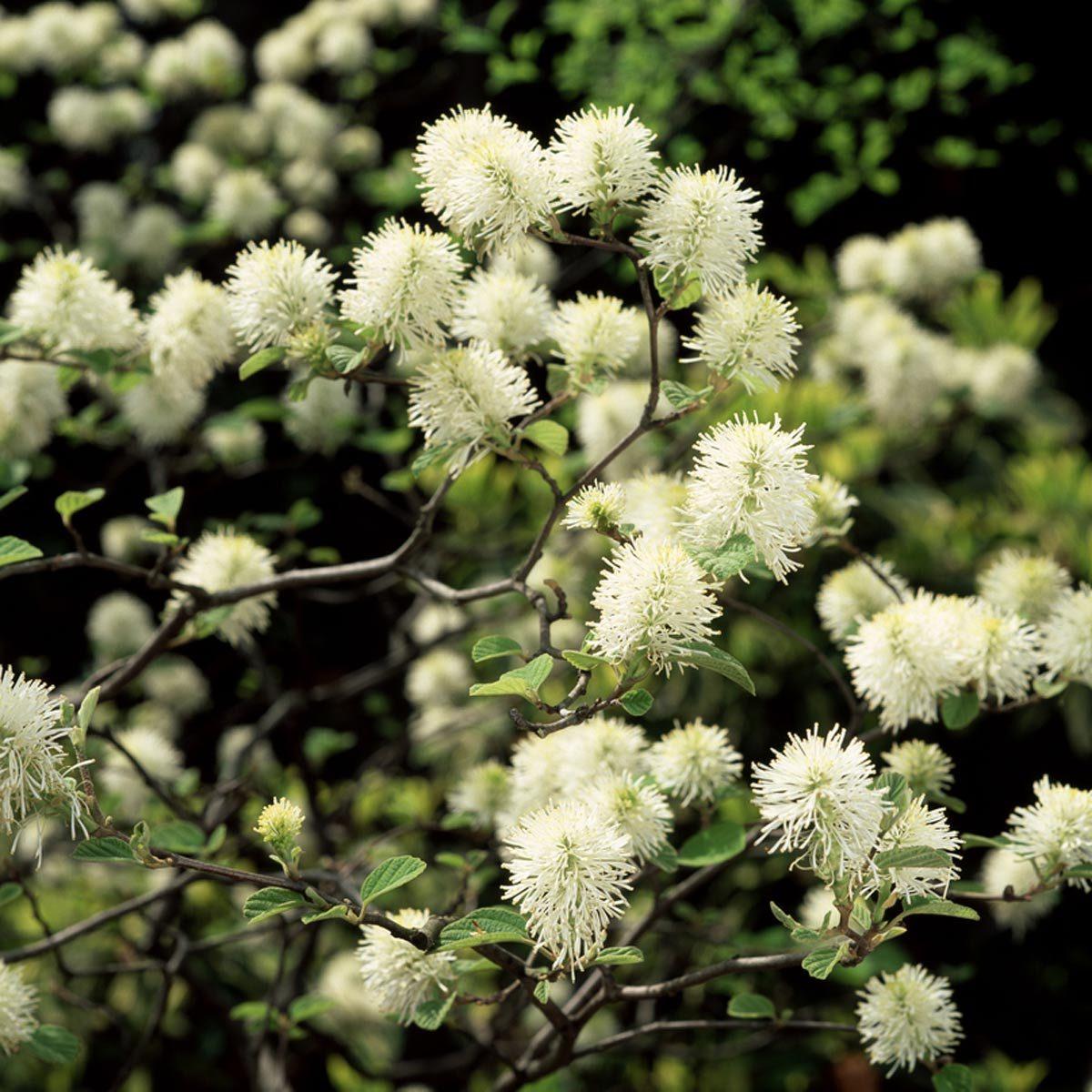 Fothergilla flowering shrub