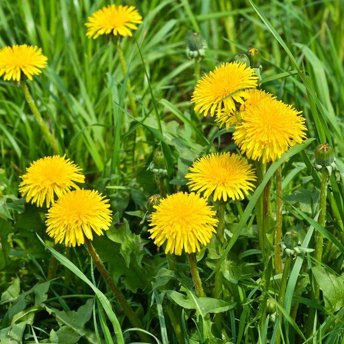Dandelion weeds