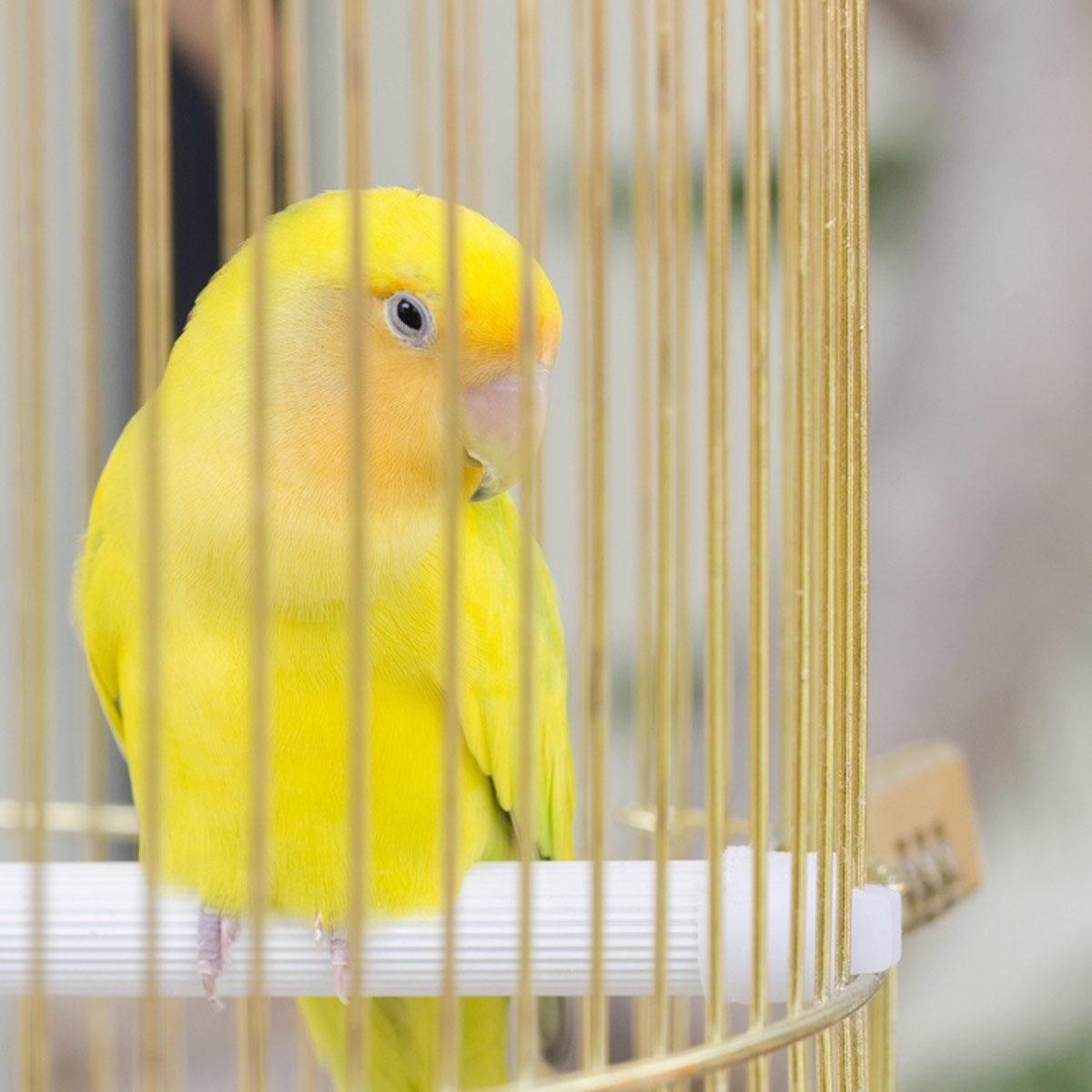 Pet bird in a cade yellow bird