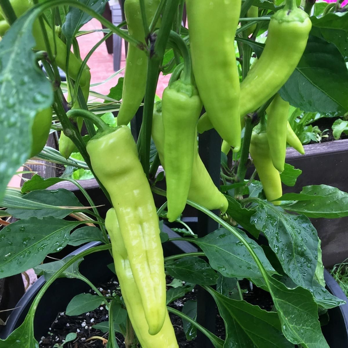 growing banana peppers