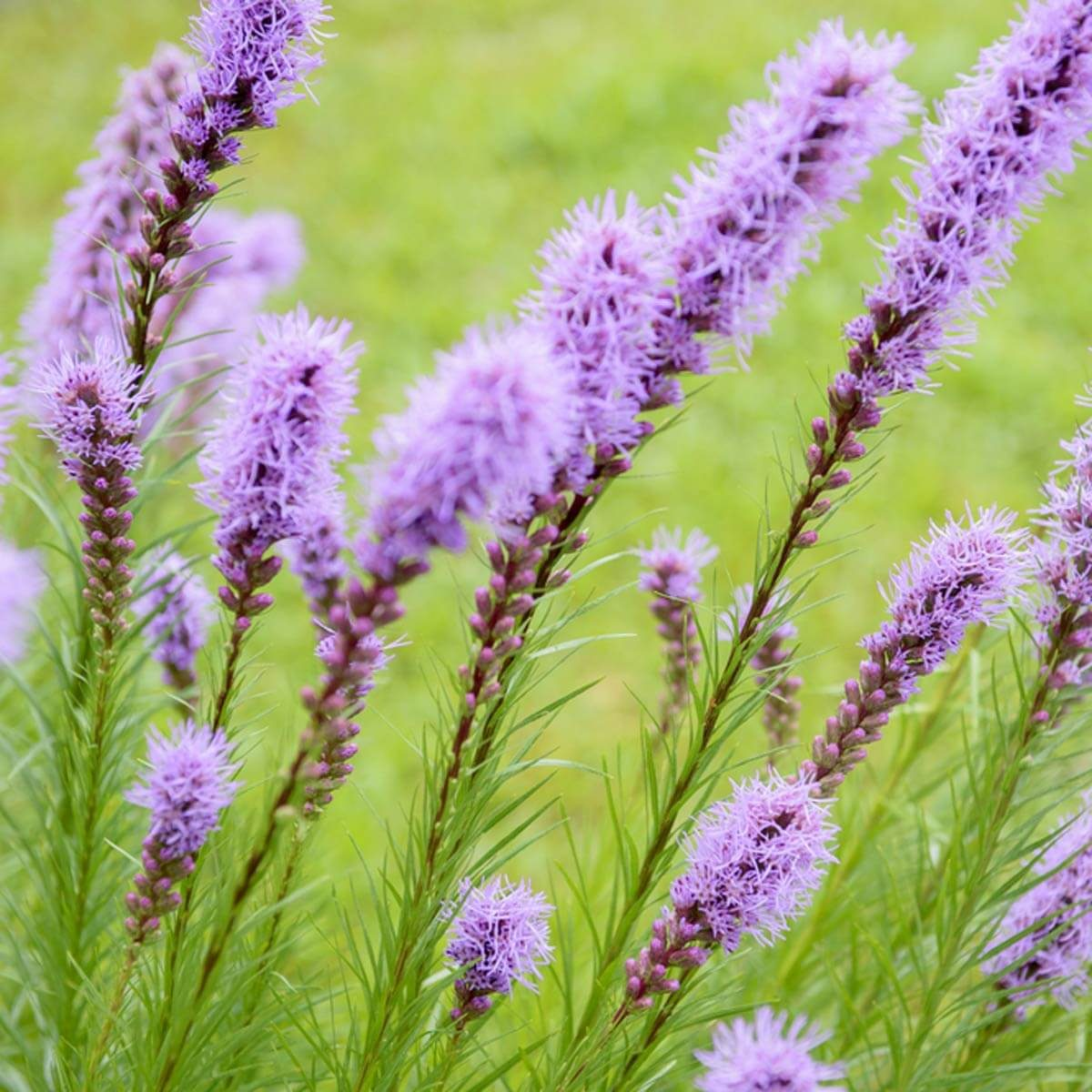 Liatris wildflower