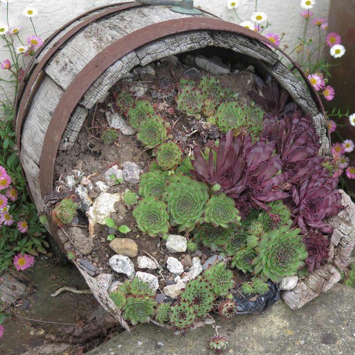 succulent barrel