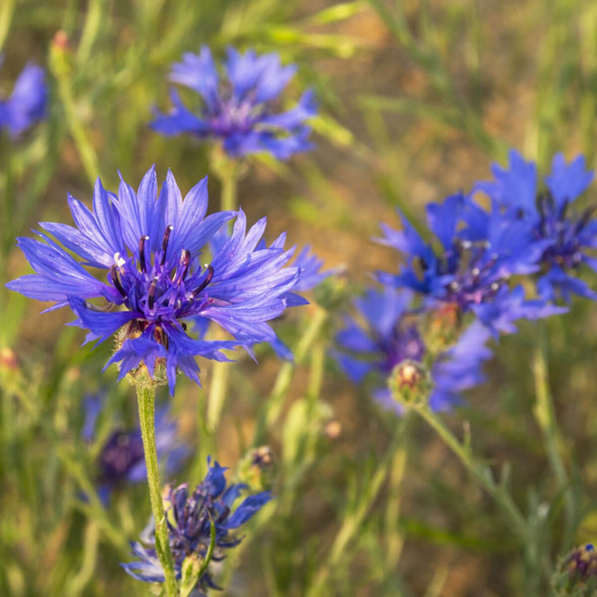 bachelor's buttons wildflowers