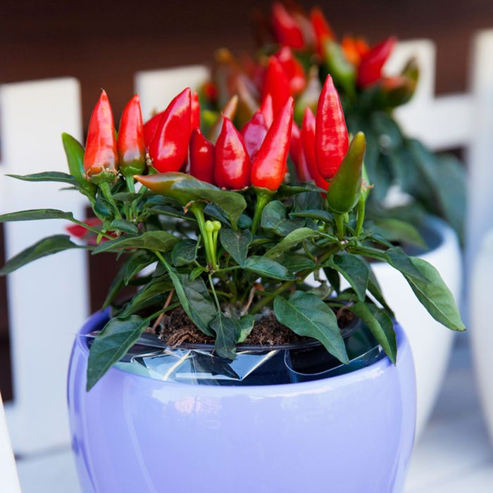 potted growing hot peppers