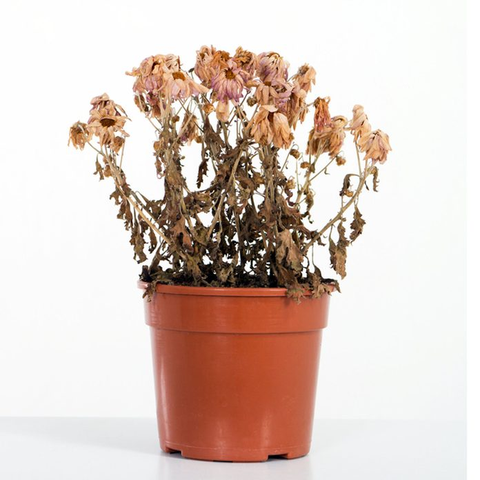 Dead Flower Pot