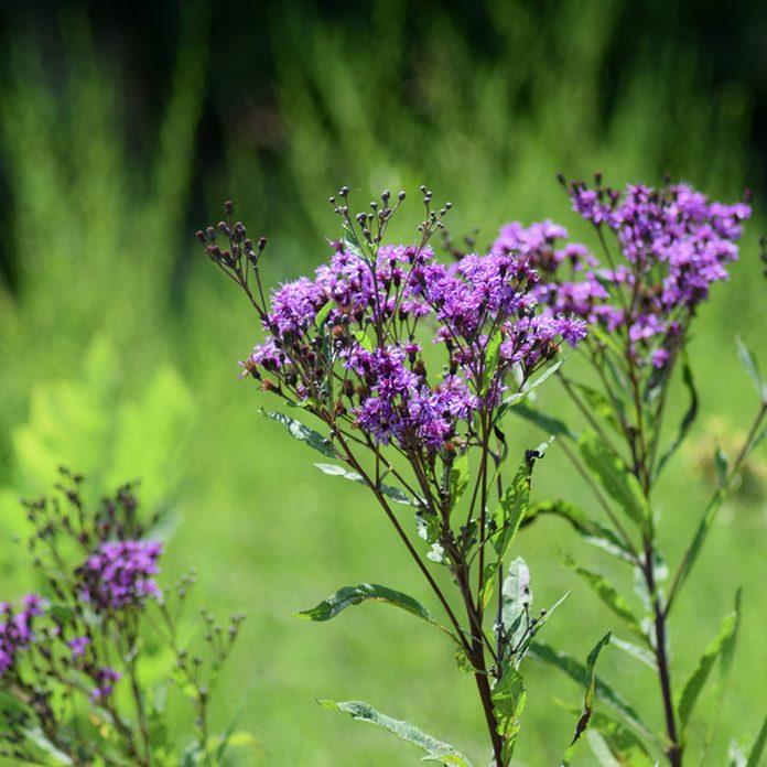 Prairie Ironweed