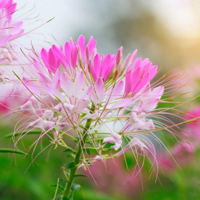 cleome wildflower