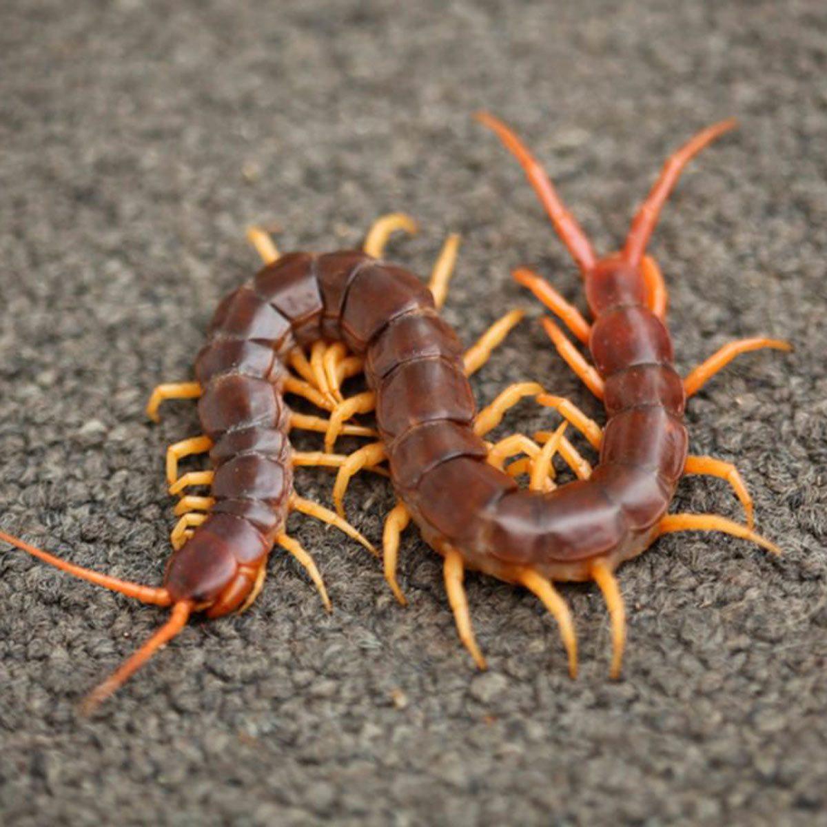 Centipedes Millipedes