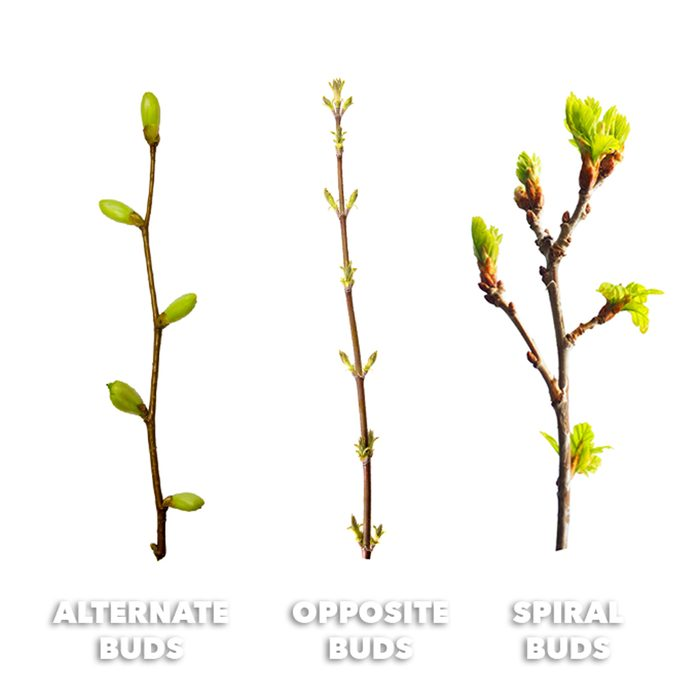identifying tree types by their buds