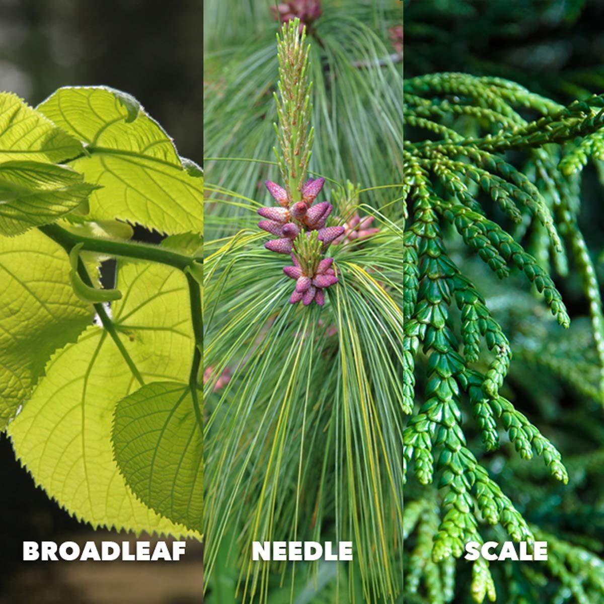 broadleaf needle scale leaf identification