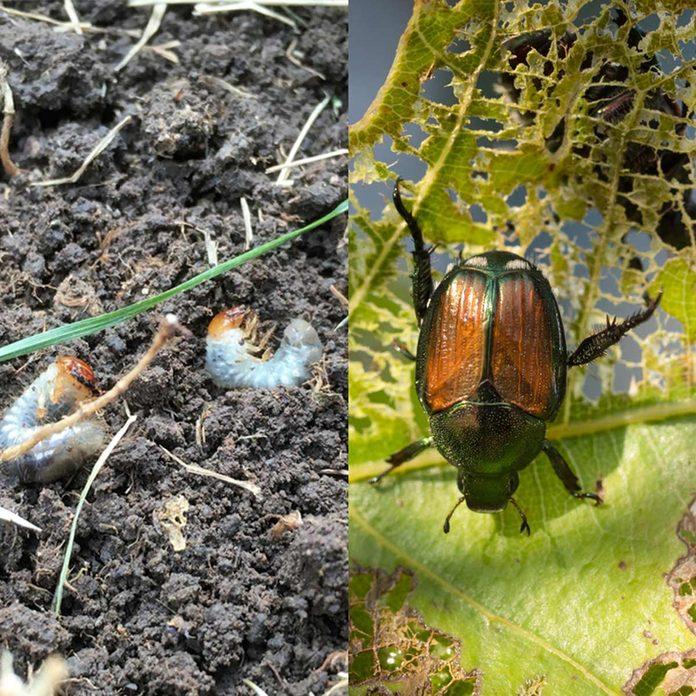 Beetle-grub
