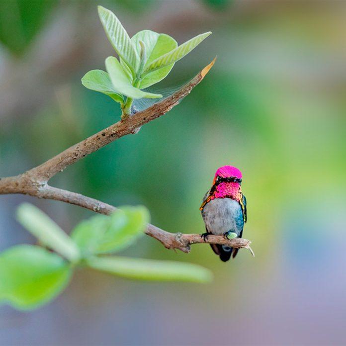 pink hummingbird sitting on branch