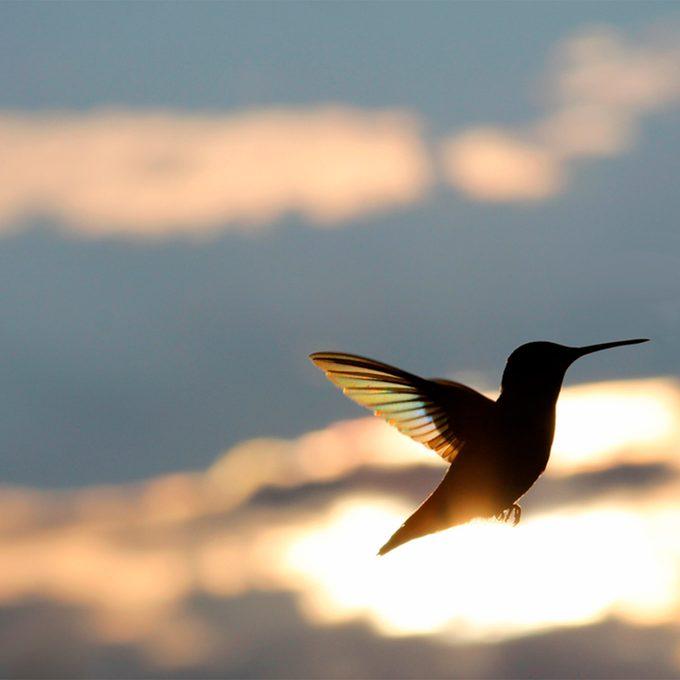 migrating hummingbird